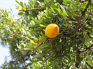 fruit-de-l'arganier-pt