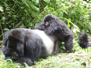 Rwanda-Kuryama-silverback-and-offspring-copie-1.jpg