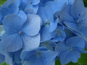 bleus-hortensia-jolis-monochromes_214087.jpg