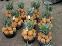 Copie-de-Afrique-du-sud-Ananas.jpg