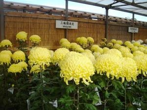 expo-de-chrysanthemes3.JPG