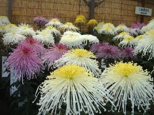 expo-de-chrysanthemes5.JPG