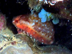 Gasteropode-Cypraea-mappa-vivante-Philippines-02