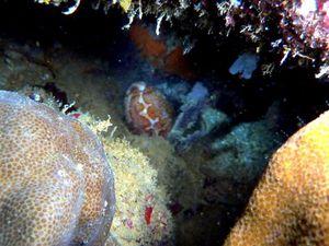 Gasteropode-Cypraea-mappa-vivante-Philippines-03