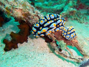Nudibranches-couple-Phyllidia-varicosa-01