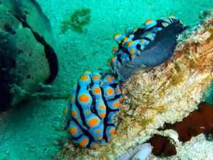Nudibranches-couple-Phyllidia-varicosa-02