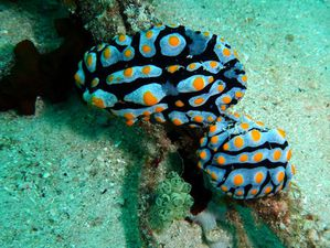 Nudibranches-couple-Phyllidia-varicosa-03