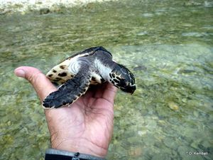 Tortue-imbriquee-6mois-02