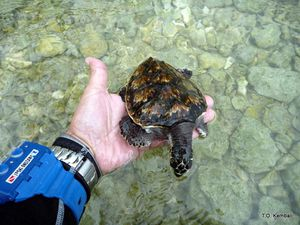 Tortue-imbriquee-6mois-03