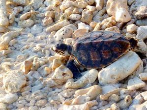 Tortues-imbriquees-5mois-libres-04