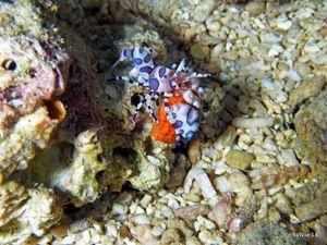 crevette arlequin bb-Hymenocera elegans