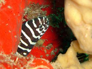 Murene-zebree-Gymnomuraena-zebra-05