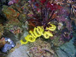 Corail noir-Antipathaires-Cirripathes cf. spiralis