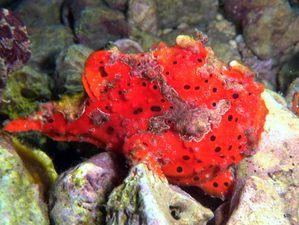 Poisson-grenouille rouge, Antennaires