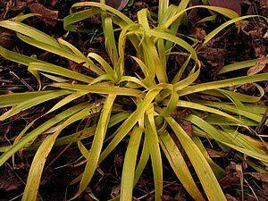 luzula-sylvatica-Aurea-27-mars-11.jpg