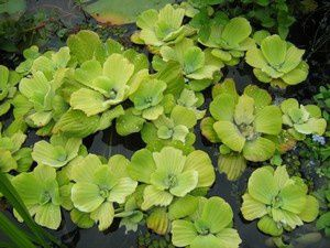 pistia-stratiotes-20-aout-10.jpg