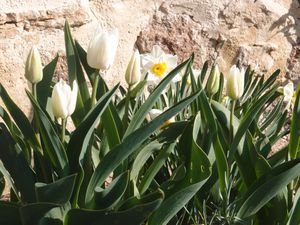 Tulipes et narcisses blancs