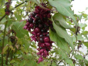 arbre à faisans sept 2011