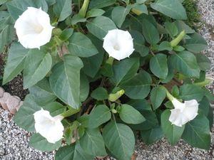 fleurs-jardin--10-9-002.jpg
