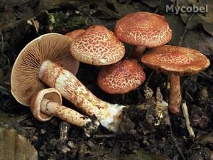 Cortinarius-bolaris--yd-_2-copie-1.jpg