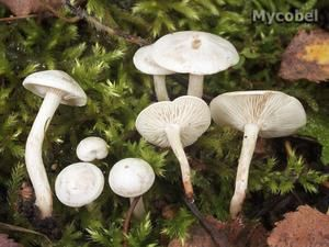 clitocybe-candicans.jpg