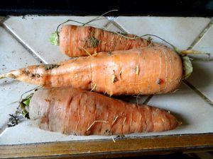carotte2012.JPG