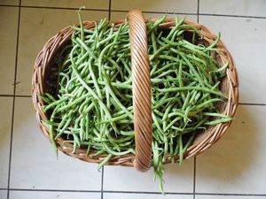 haricots-verts-19-aout2012.JPG
