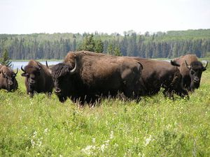 Bisons-Lake_Audy-Riding_Mountain_National_Park-Norm-Andreiw.jpg