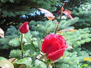 Rose mess