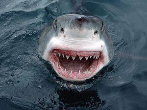 spécial requin