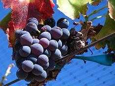 234px-Grenache_noir_grapes.jpg