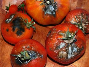 tomates-pourries