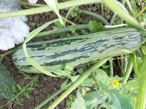 courgette.01.jpg