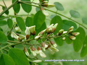 Fleurs d'acacia (2)