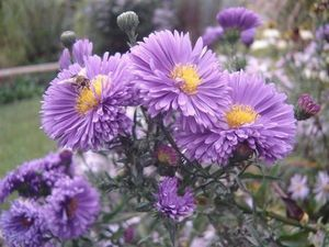 Aster-nb-Dumnacus--Small-.JPG