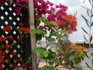 fleurs de bougainvillé 4