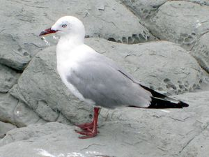 mouette-a-bec-rouge.jpg