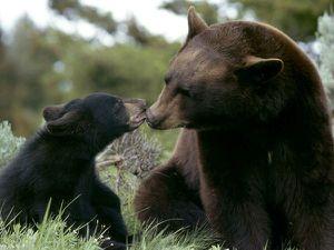 black bear mom cub