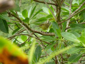 Hiva Oa & Ua Pou-29 aout-4 septembre 2011-Acrocephalus sur
