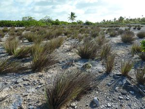 Kiritimati-21-28 mars 2012-Digitaria grassland