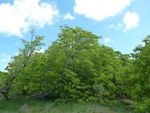 Kiritimati-21-28 mars 2012-Pisonia grandis