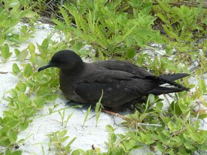 Kiritimati-21-28 mars 2012-Puffin shearwater