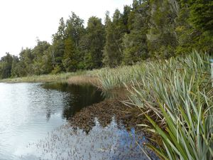 New Zealand-Central South Island-01-10 nov. 2012-Myriophyll