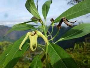 Tahiti-Marau-30 juillet 2013-Sclerotheca arborea