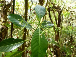 Tahiti-Mille Sources-28 septembre 2013-Psychotria sp. infl