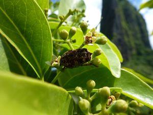 Moorea-Mouaroa-23 avril 2014-insecte sur fleurs Santalum