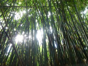 Moorea-Vaianae-19 mai 2014-bambouseraie