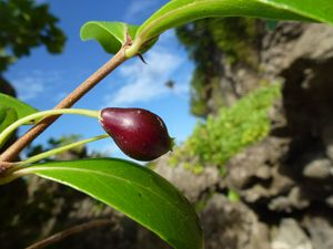 Alofi-Loka-02 sept 2014-Timonius polygamus fruit