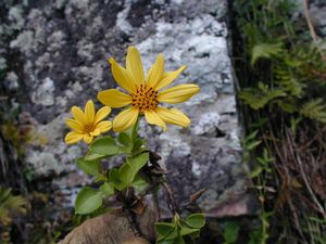 Dec-Rapa-Tevaitau-Bidens sp. nov. (JYM)