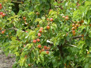 057-les bons abricots